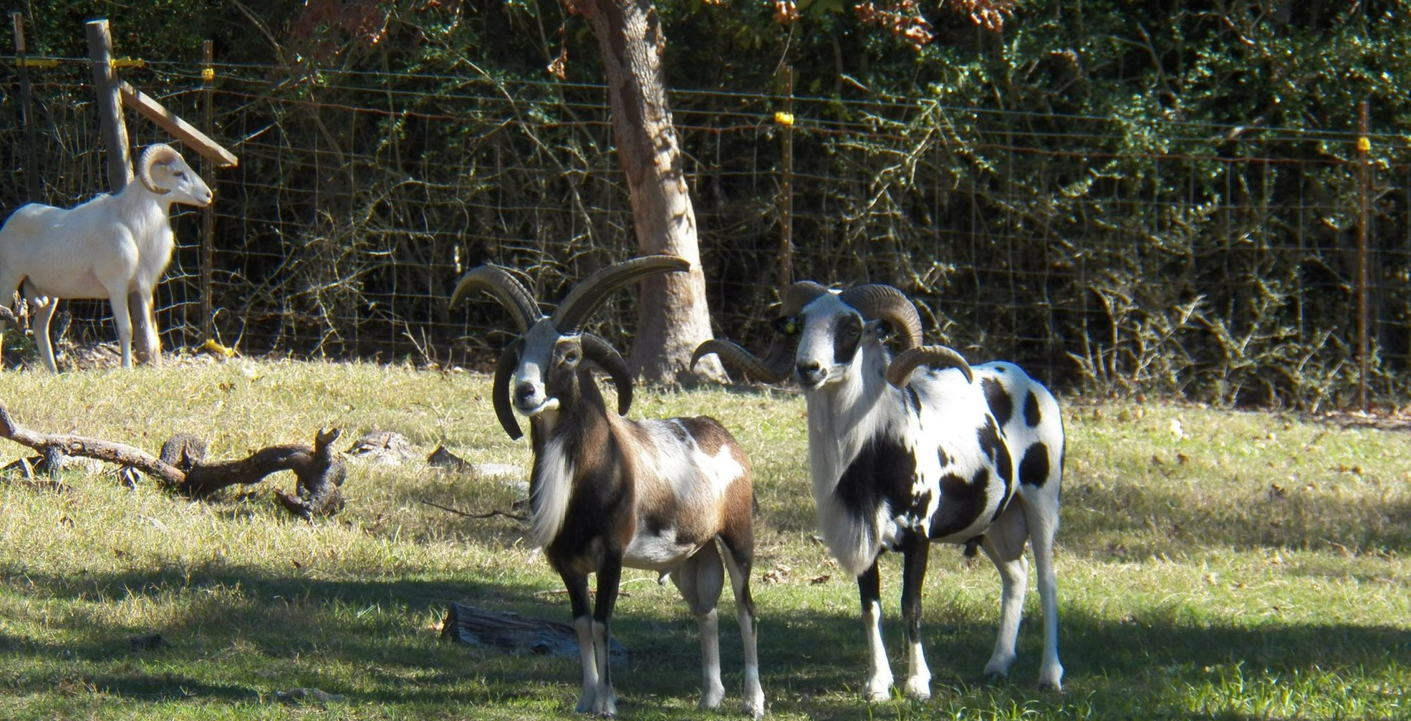 United Horned Hair Sheep Association